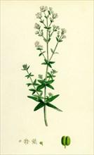 Galium boreale; Cross-leaved Bedstraw