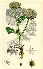 Daucus Carota, var. gummifer; Sea Carrot