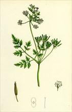 Chaerophyllum Cerefolium; Garden Chervil