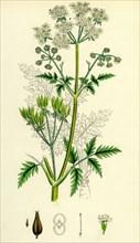 Chaerophyllum sylvestre; Wild Chervil