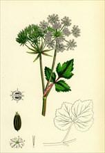 Ligusticum Scoticum; Sea Lovage