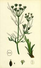 Silaus pratensis; Meadow Sulphurwort
