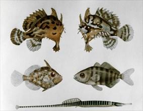 Planche avec cinq poissons