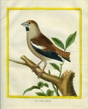 Female Hawfinch