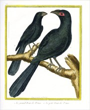 The Large Smooth Billed Ani and the Small Smooth Billed Ani