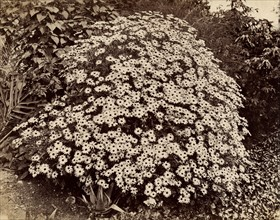 Atget, Flowered bush