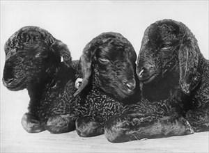 Three Day Old Persian Lambs