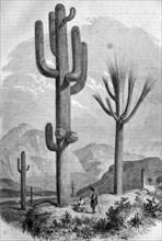 Giant cactus,