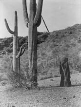 Gathering Cactus Fruit 1907