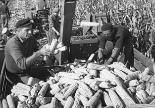 Maize harvest at cooperative farm near stapar, north eastern yugoslavia, 1960s.