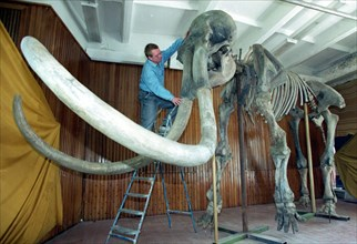 The fossil skeleton of a 60 years old mammoth,3 m, tall and 4 m ,long and weighing 5 tonnes when alive, was rambling in the siberian land (novosibirsk region now) about 24,000 years ago,a find of a co...