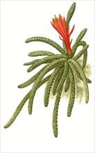 Cereus Flagelliformis