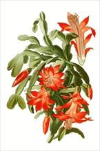 Epiphyllum Truncatum