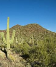 Saguaro Cactus near Tucson, Arizona