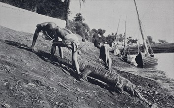 crocodile catching in egypt