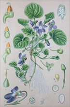 Digital improved high quality reproduction: Viola odorata is commonly known as wood violet