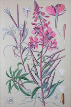Digital improved high quality reproduction: Chamaenerion angustifolium