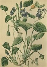Medicinal plant violet