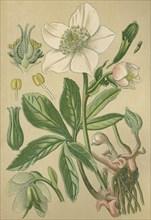 Medicinal plant Black hellebore