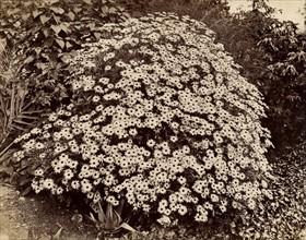 Atget, Buisson en fleurs